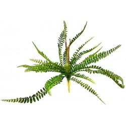 Sword Fern - Polystichum munitum (Lugarti)