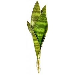 Snake Plant - Zeylanica (Lugarti)