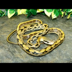 Taiwan Beauty Rat Snake - TBR001F