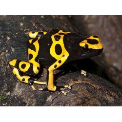 Bumblebee Poison Dart Frogs