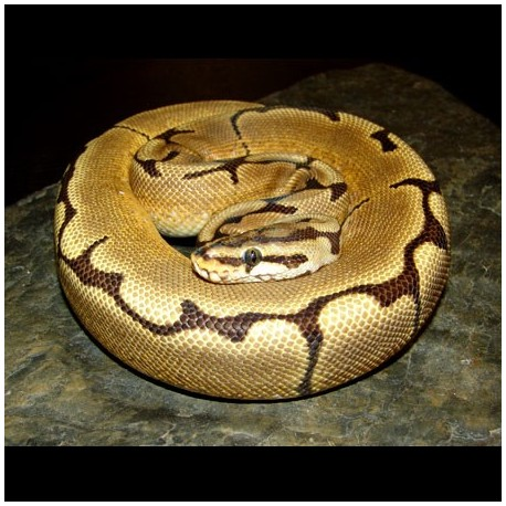Ball Pythons (Spider)