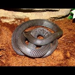 Black Milk Snake (2008 Female)