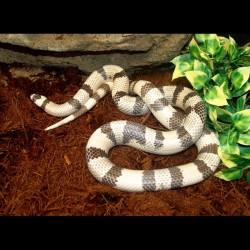 Honduran Milk Snake - Ghost (2008 Female)
