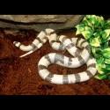 Honduran Milk Snake - Ghost