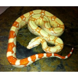 Colombian Red Tail Boas (Albino)