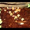 Pueblan Milk Snake - Apricot