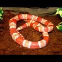 Honduran Milk Snake - Albino Tangerine