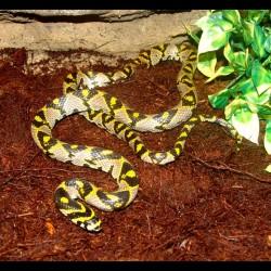 Mandarin Rat Snake (2010 Male)