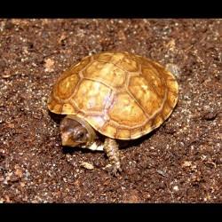 Three-toed Box Turtles (Babies)