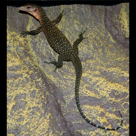 Peach Throat Monitors (Varanus jobiensis)