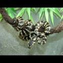 Jungle Carpet Pythons (Babies)