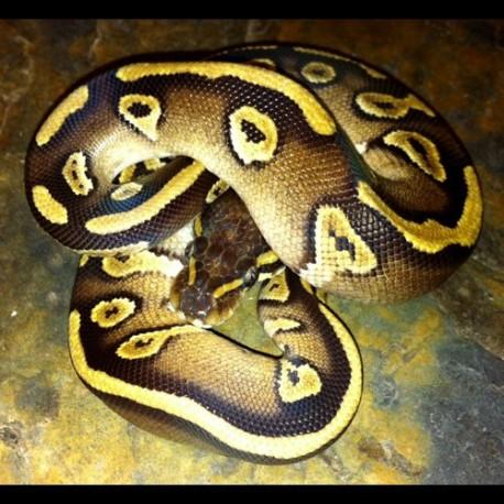 Ball Pythons (Mojave)