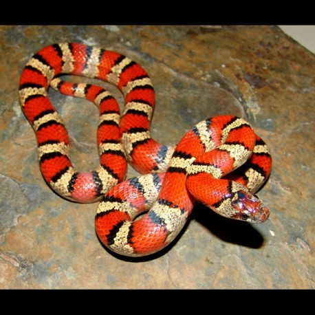 Mexican Milk Snakes