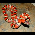 Mexican Milk Snakes (Babies)
