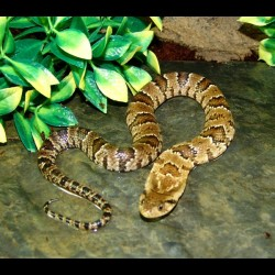 Hypo False Water Cobras (Babies)