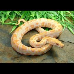 Burmese Python - Albino