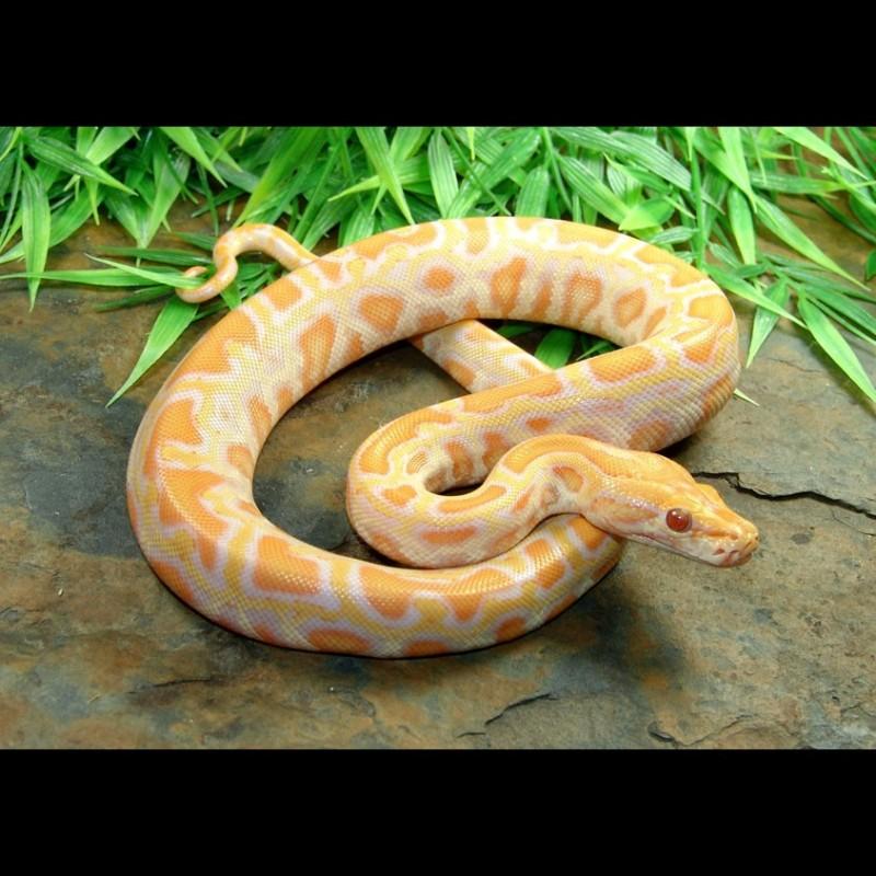Albino Burmese Pythons Python Molurus Bivittatus