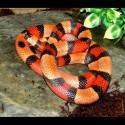 Pueblan Milk Snake - Apricot (2008 Male)